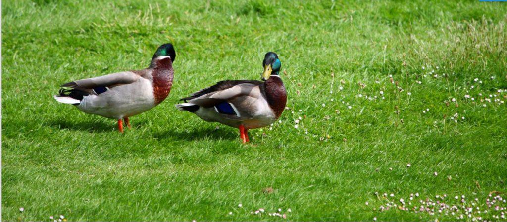 Bachelor Ducks