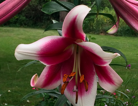 Lily from the garden of Kathleen Johnson, Iowa fresh flower farmer.