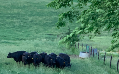 The presence of cows.